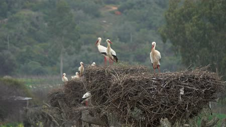 bocian : White storks in the nest, Portugal Wideo