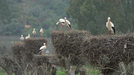 ooievaar : White storks in the nest, Portugal Stockvideo