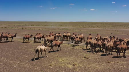 サハラ : Aerial view of Bactrian camels group in steppe