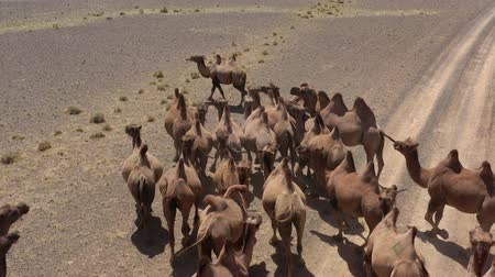 préri : Aerial view of Bactrian camels group in steppe