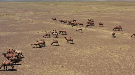 gobi : Aerial view of Bactrian camels group in steppe