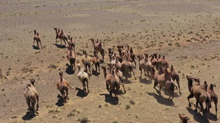 moğolistan : Aerial view of Bactrian camels group in steppe