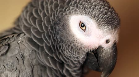 ara papagáj : tired African Grey Parrot  Stock mozgókép