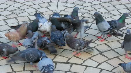 pigeons compete for food in the park