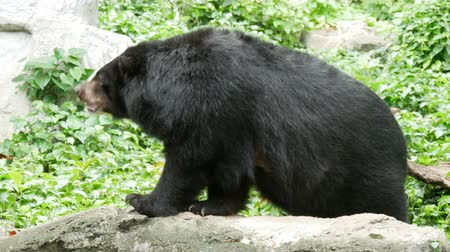 big black bear sniffing the air and shaking head