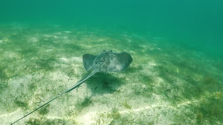 sas : Stingray swimming in the tropical water of the caribbean, HD video slowmotion