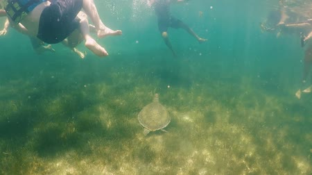 répteis : Underwater view of tourist swims with a Sea Turtle at Akumal Mexico