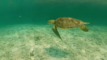 répteis : Underwater view of Sea Turtle in tropical water, Akumal in Mexico