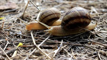 fauna flora : Two snails crawl on dry grass.
