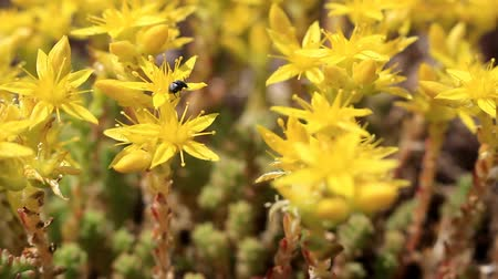 The black beetle eats pollen and nectar from yellow flowers. Stock Footage