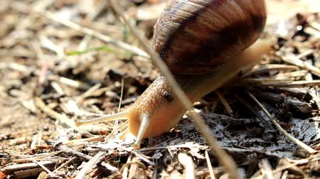 The snail crawls on dry grass in search of food.