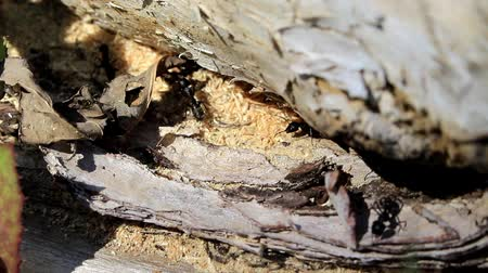 Black ants build an anthill in a rotten tree.