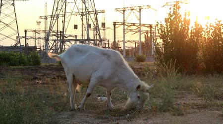 The goat eats grass on the field near the power station. Stock Footage