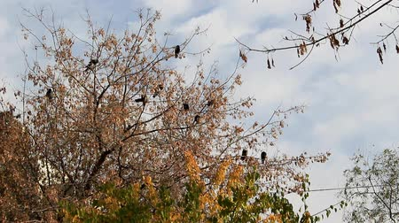 Crows sit on the branches. Stock Footage