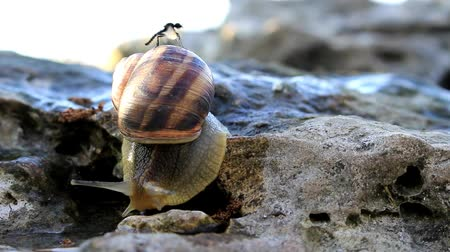 The snail slowly crawls over the stone, on top of it.