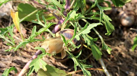 lesma : The snail with the striped shell climbed on a bush of green grass and began to chew on the leaves.