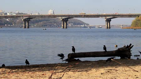 On the embankment of the river, the crows in the flock, the duck flies and sits on the water. In the background, we see bridges and the right bank of Kiev.