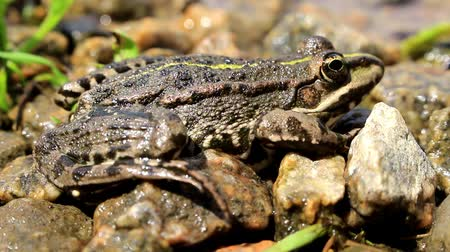 kurbağa : On the river bank rests a gray spotted frog, it takes sunbathing. Good background.