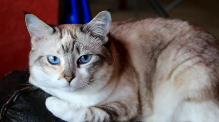 хорошее настроение : A beautiful white-gray cat rests gracefully on the back of the chair and turns her head in the camera with its bewitchingly blue eyes.