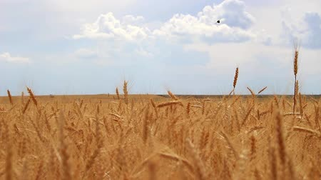 Wheat spikes ripen and flutter in the wind, they stretch towards the sky, towards the sunlight. Stock Footage