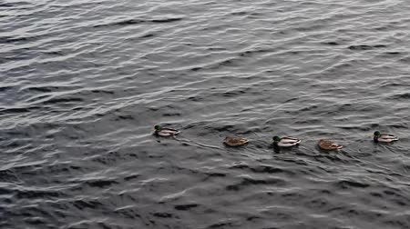 animal paws : A group of wild ducks slowly floats along the river, one duck stops and spreads its wings.
