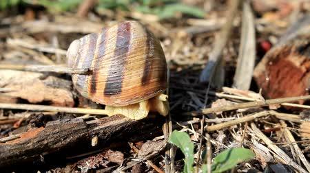 The striped snail has become bold and comes out of its house to eat fresh grass.