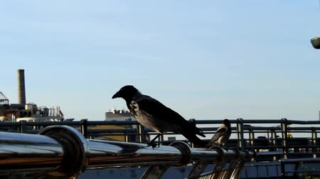 handrails : Two crows sit on a railing in the center of a large city. Stock Footage