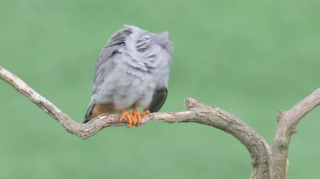 animais : Red-footed falcon, Falco vespertinus, single male on branch, Hungary. Stock Footage