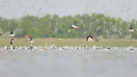 waders : Avocets, Black-winged stilts and ruff in flight. Stock Footage