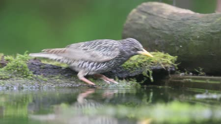 szpak : Starling, Sturnus vulgaris,  single bird in water, Hungary.