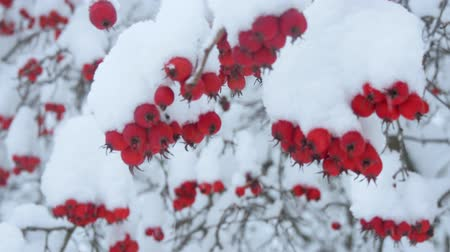 Russian winter. Bush berries under the snow