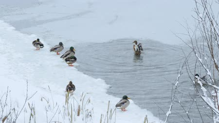 Russian winter. Snowfall on the forest river. Ducks on the water Dostupné videozáznamy
