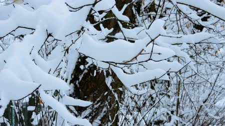 Russian winter. Winter forest, tree branches under the snow