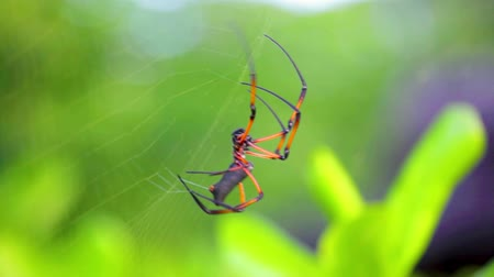 tropical insects : Seychelles spider close-ups weave a spider web.