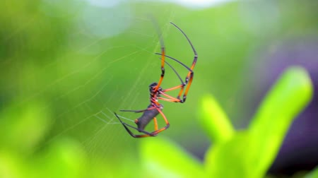Seychelles spider close-ups weave a spider web.