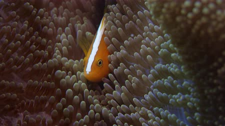 white-maned anemonefish or pink anemonefish, Amphiprion perideraion, is hiding ia anemone. WAKATOBI, Indonesia, slow motion