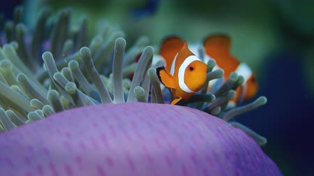 false anemonefish or clownfish, Amphiprion ocellaris, is hiding in an anemone, Wakatobi, Indonesia, slow motion