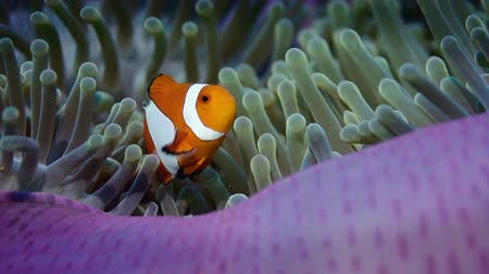 palhaço : false anemonefish or clownfish, Amphiprion ocellaris, is hiding in an anemone, Wakatobi, Indonesia, slow motion