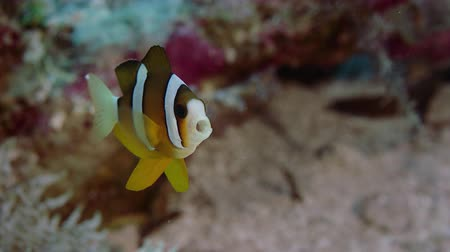 Clarks anemonefish (Amphiprion clarkii) peeking out of its anemone host, WAKATOBI, Indonesia, slow motion Vídeos