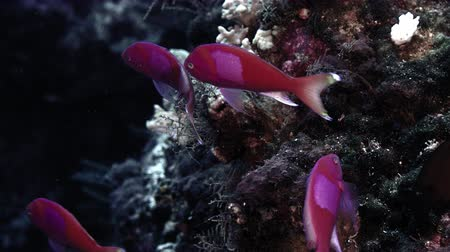 Square-spot fairy basslet, Pseudanthias pleurotaenia, is swimming in a colorful coral reef, Wakatobi, Indonesia, slow motion Vídeos