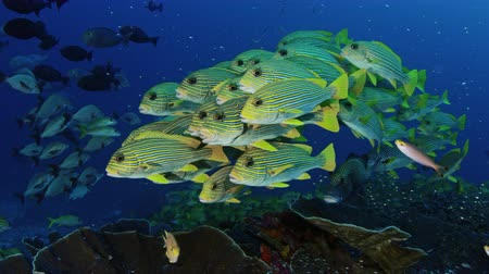 marcante : Very big school of Ribboned sweetlips, Plectorhinchus polytaenia, at Raja Ampat, West Papua, Indonesia
