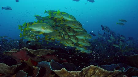 Very big school of Ribboned sweetlips, Plectorhinchus polytaenia, at Raja Ampat, West Papua, Indonesia