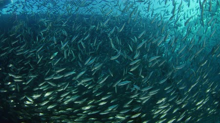 Large shoal of fish, Blacktip sardinella (Sardinella melanura) ripples and sways under a jetty, Raja ampat, Indonesia