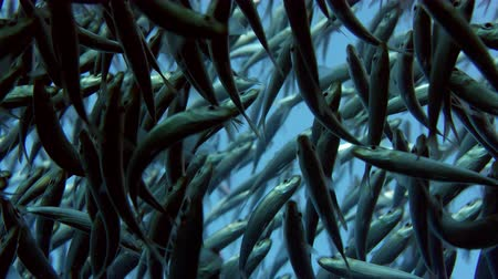 miktar : Large shoal of fish, Blacktip sardinella (Sardinella melanura) ripples and sways, Raja ampat, Indonesia
