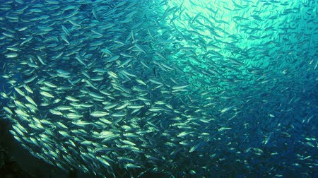 скумбрия : Large shoal of fish, Blacktip sardinella (Sardinella melanura) ripples and sways under a jetty, Raja ampat, Indonesia
