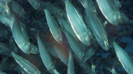 Large shoal of fish, Blacktip sardinella (Sardinella melanura) ripples and sways, Raja ampat, Indonesia