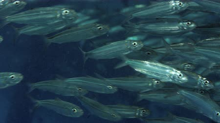 скумбрия : Large shoal of fish, Blacktip sardinella (Sardinella melanura) ripples and sways, Raja ampat, Indonesia