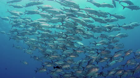 A huge school of jacks (caranx latus, horse eye jack) at open ocean, indonesia, slow motion, shot on RED Vídeos