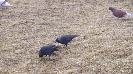 feeding ground : Birds the jackdaws feed on the spring field. Stock Footage