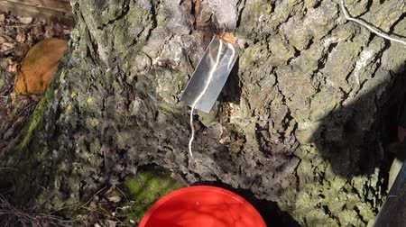 coletando : collecting birch tree sap early spring slow motion video